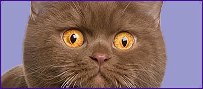 Hodowla Kotów Brytyjskich Krótkowłosych I Długowłosych Misiurno W